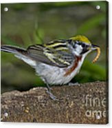 Chestnut-sided Warbler Acrylic Print