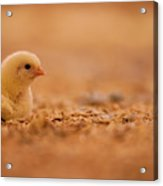 Chick In Poultry Barn Acrylic Print
