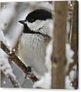 Chickadee 108 Acrylic Print