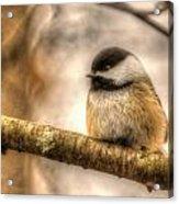 Chickadee Magic Acrylic Print
