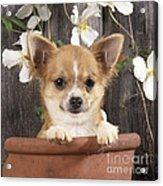 Chihuahua Dog In Flowerpot Acrylic Print