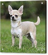 Chihuahua Dog Acrylic Print