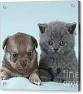 Chihuahua Puppy And British Shorthair Acrylic Print