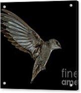 Chimney Swift Acrylic Print