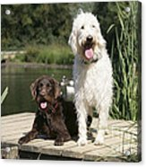 Chocolate And Cream Labradoodles Acrylic Print