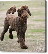 Chocolate Labradoodle Running In Field Acrylic Print