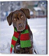 Chocolate Labrador Retriever Acrylic Print