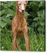 Cirneco Delletna Dog Acrylic Print
