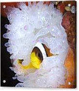 Clarks Anemonefish In White Anemone Acrylic Print by Steve Jones