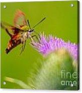Clearwing Hummingbird Moth Acrylic Print