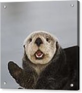 Close Up A Sea Otter In Prince William Acrylic Print