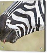 Close-up Of A Burchells Zebra Equus Acrylic Print
