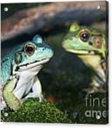 Close-up Of Blue And Green Frogs Acrylic Print