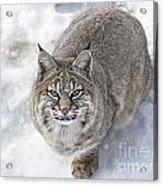 Close-up Of Bobcat Lynx Looking At Camera Acrylic Print by Sylvie Bouchard