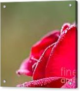 Close-up Of Red Rose With Water Drops Acrylic Print