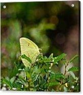 Clouded Sulphur Butterfly Acrylic Print