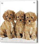 Cockapoo Puppy Dogs Acrylic Print