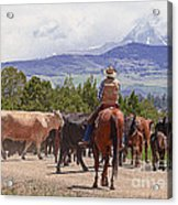 Colorado Cowboy Cattle Drive Acrylic Print