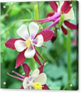 Columbine Flowers, Usa Acrylic Print
