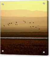 Common Cranes At Gallocanta Lagoon Acrylic Print