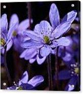 Common Hepatica Acrylic Print