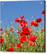 Common Poppy Flowers Acrylic Print