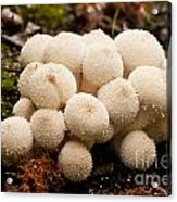 Common Puffball Mushrooms Lycoperdon Perlatum Acrylic Print
