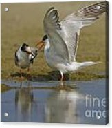 Common Tern Sterna Hirundo Acrylic Print by Eyal Bartov