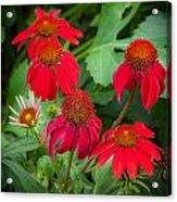 Coneflowers Echinacea Red  Acrylic Print