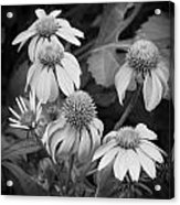 Coneflowers Echinacea Rudbeckia Bw Acrylic Print by Rich Franco