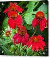 Coneflowers Echinacea Rudbeckia Acrylic Print
