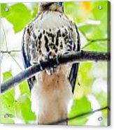 Coopers Hawk Perched On Tree Watching For Small Prey Acrylic Print
