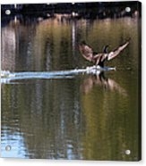 Cormorant Landing Acrylic Print