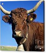 Cow Salers Acrylic Print by Bernard Jaubert