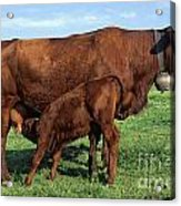 Cows Salers Acrylic Print