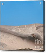 Coyote On Sand Dune Acrylic Print by Mark Newman