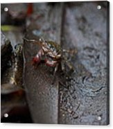 Crab In Mangrove Forest In Los Haitises National Park Dominican Republic Acrylic Print