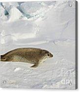 Crabeater Seal, Antarctica Acrylic Print