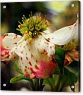 Cranberry Dogwoods Acrylic Print