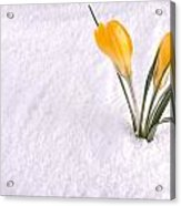 Crocus In Snow Yellow Acrylic Print