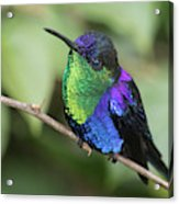 Crowned Woodnymph Hummingbird Male Acrylic Print