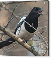 Crying Magpie Acrylic Print