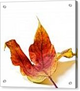 Curled Autumn Leaf Isolated On White Acrylic Print