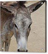 Cute Donkey Acrylic Print