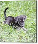 Cute Puppy In The Grass Acrylic Print by Jannis Werner