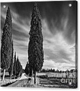 Cypress Trees- Tuscany Acrylic Print