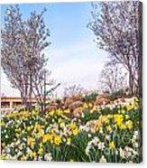 Daffodil Hill Acrylic Print