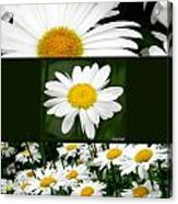 Daisy Collage Acrylic Print