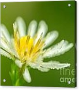 Daisy Fleabane Erigeron Annuus Acrylic Print