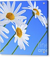 Daisy Flowers On Blue Background Acrylic Print